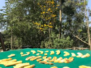 Preparação de Banana passa do quintal